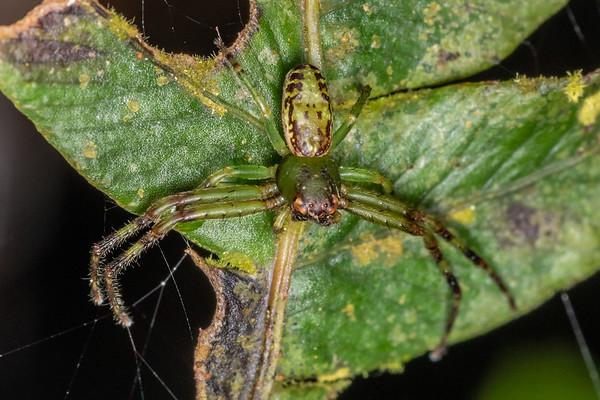 Diaea ambara - Flower spider