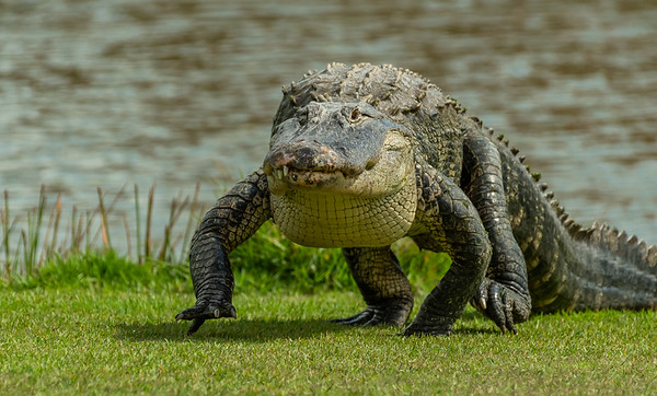 Cross Creek Alligator Crossing