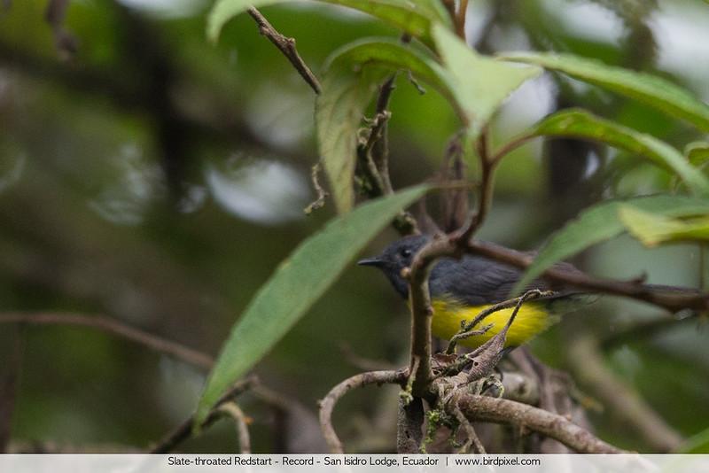 Slate-throated Redstart - Record - San Isidro Lodge, Ecuador