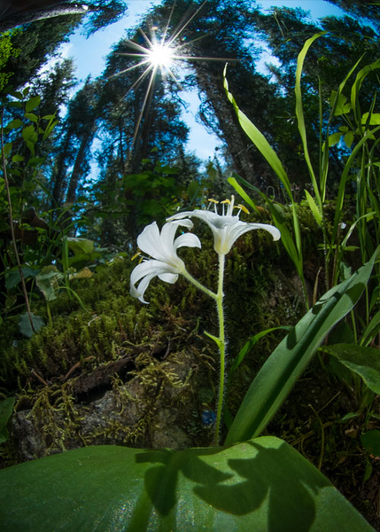 #20 Blue Bead Lily