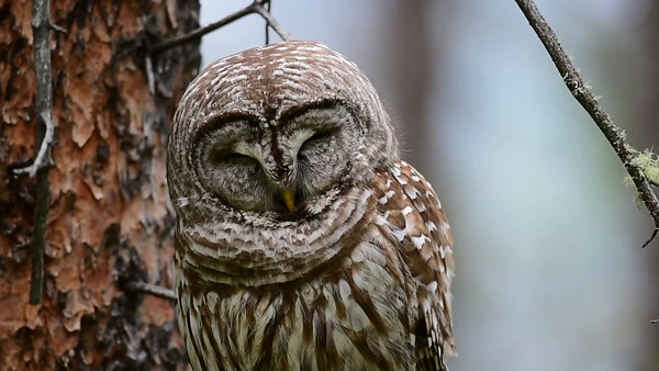 6-30-14 Videos Barred Owl