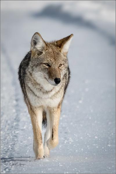 J85_1459 Coyote a crop  LPW.jpg