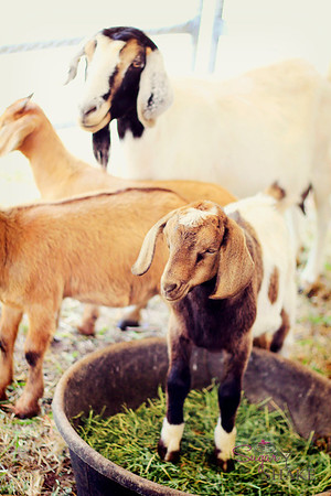 "This goat says, ""I don't care if you're supposed to eat it, I'm going to stand in it!"" © 2012 Sugar + Shake"