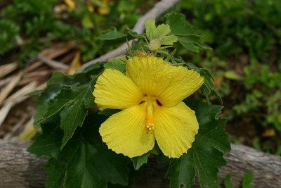 Hibiscus brackenridgei (Malvaceae)