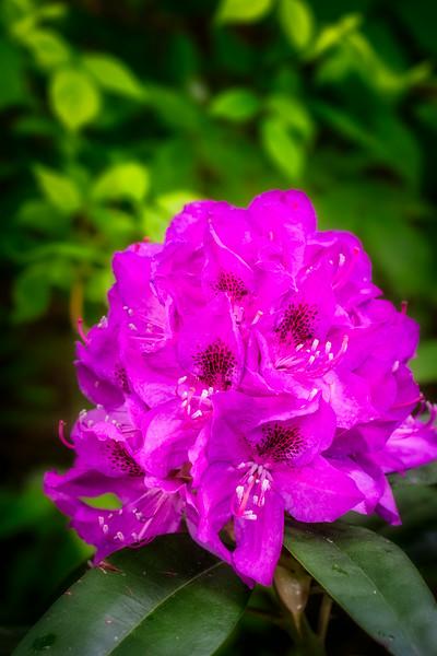 Rhododendron-Magenta