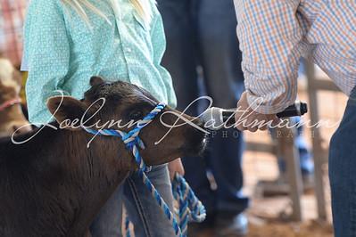 Bucket Calf Show