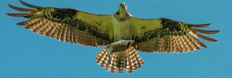 Osprey w fish-1.jpg