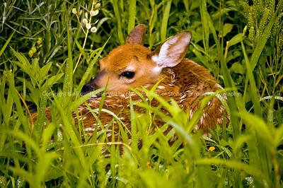 018-deer_fawn-madison_co-09jun06-0388