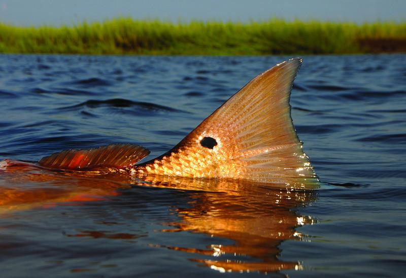 Redfish Tail MMGINC_213.jpg