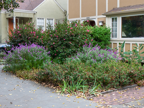 30 October 2017.  While I've been focusing on the now-year-old garden in back, the much older front garden is still there, still a fall and winter feature.  Peaking now are the Camellias, Mexican sage, and Correa.  The iris in front are a little discordant perhaps.  The hackberry above has just about finished making its annual mess.