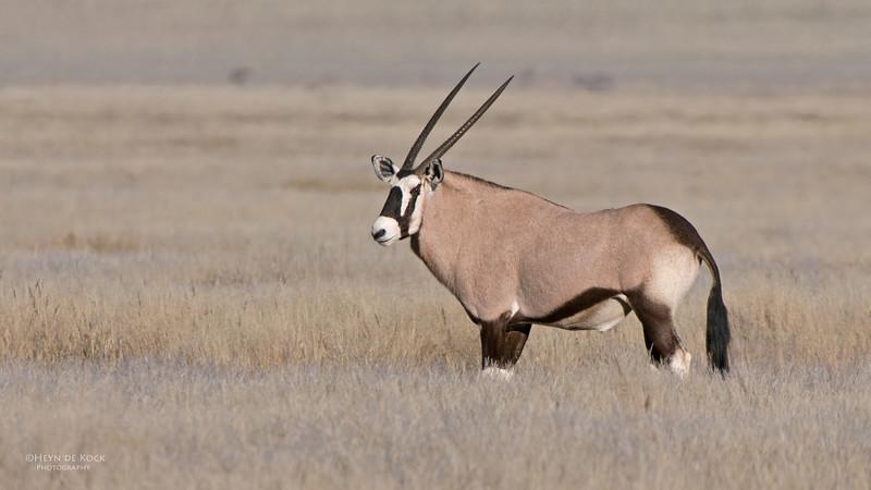 Gemsbok, Southern Namibia, July 2011.jpg