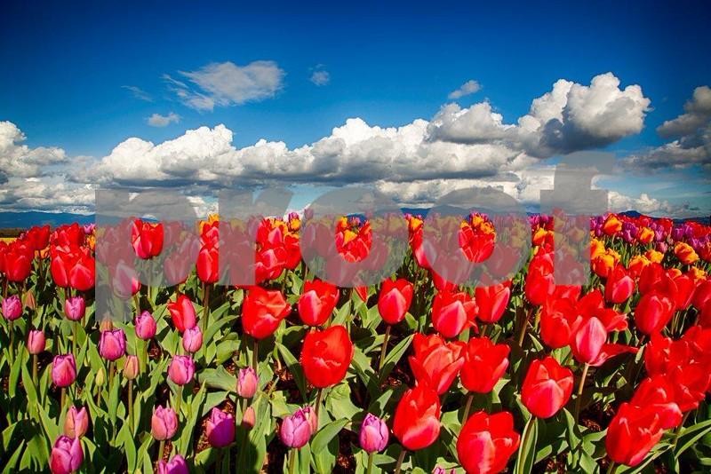 Tulips, Skagit 3967_HDR.jpg
