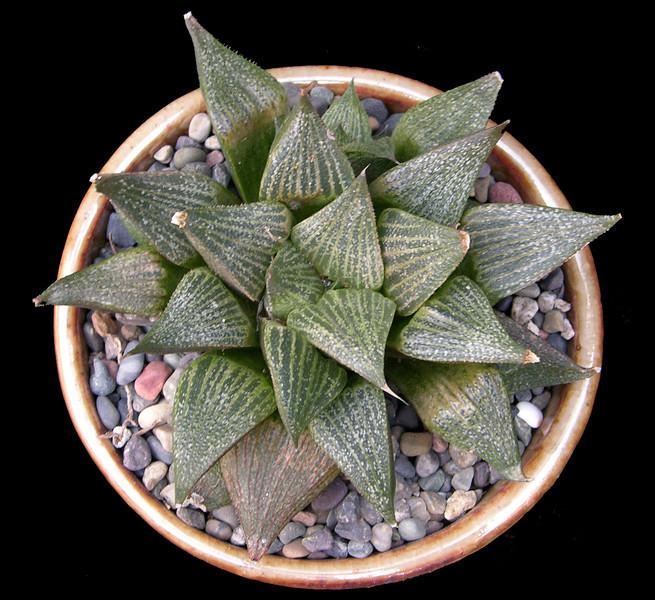 Haworthia magnifica var. splendens