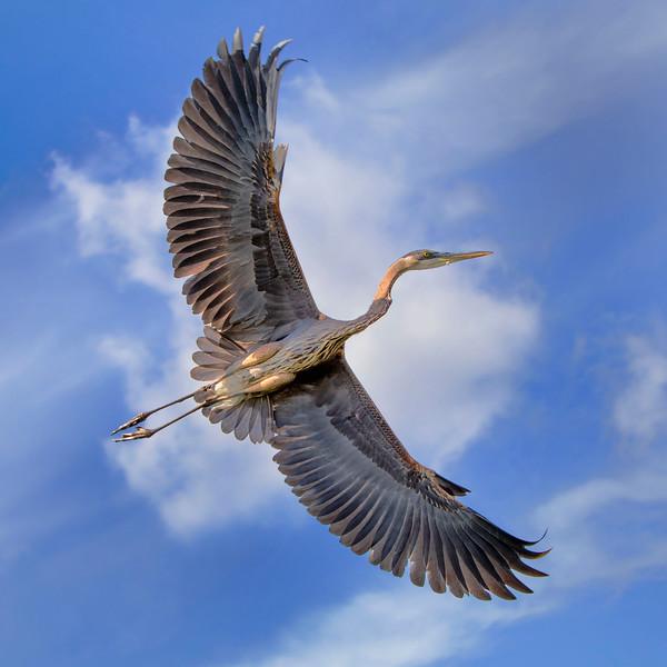 Great Blue Heron in flight_IMG_1088.jpg