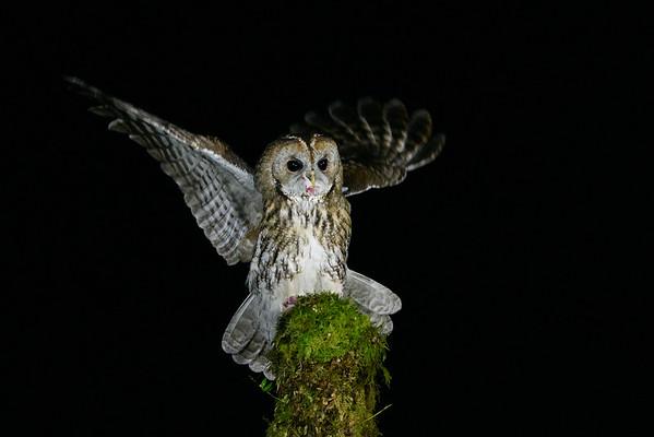 Owls - Tawny Owl