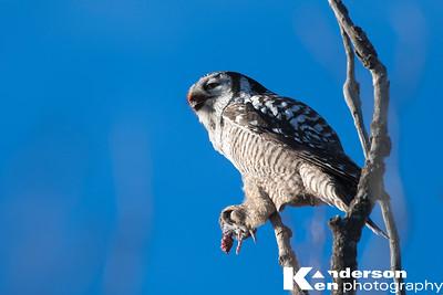 Northern Hawk Owls
