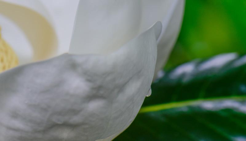 Magnolia 30