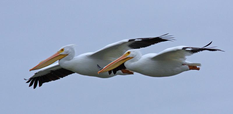 White Pelicans, Las Gallinas
