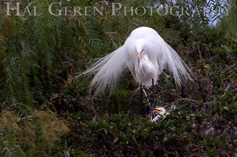 Great Egret with Fledgling Newark, California 1304N-GE11
