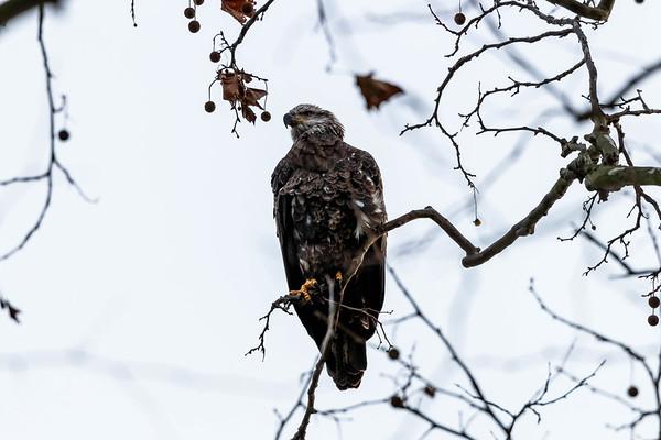 For Sale: Bald Eagles