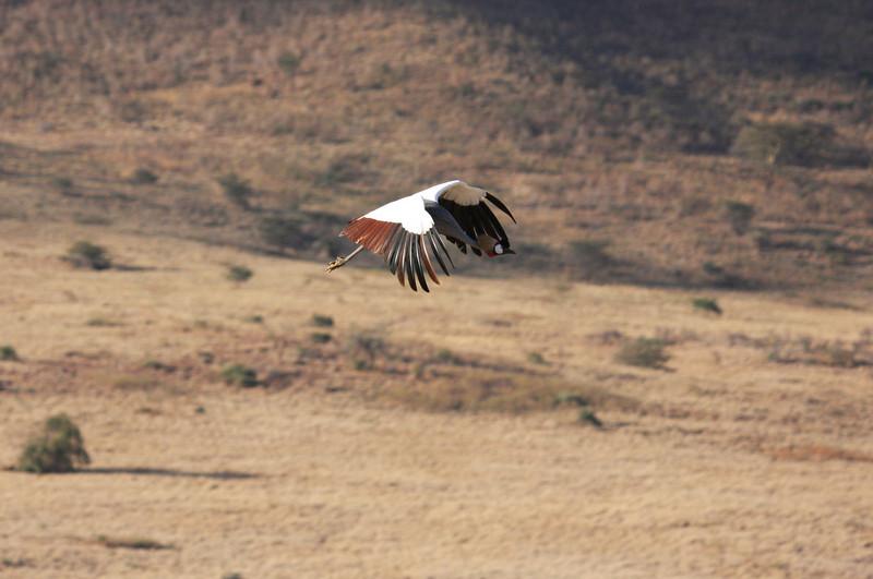 Grey-crowned crane in flight