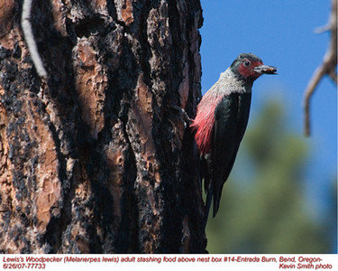 Lewis'WoodpeckerA77733.jpg