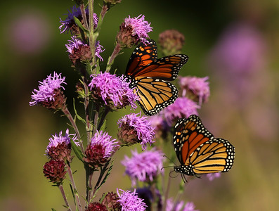 Magical Monarch Meadow