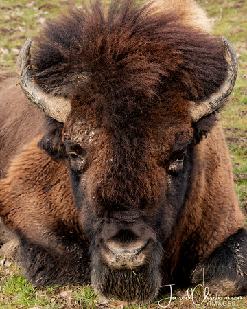 The Bison of Ouabache State Park in Bluffton Indiana.