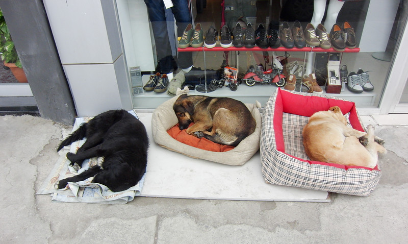 Stray Dogs of Istanbul