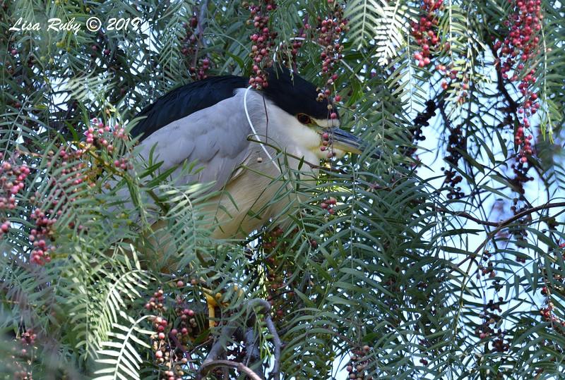 Black-crowned Night Heron  - 2/17/2019 - Lindo Lake