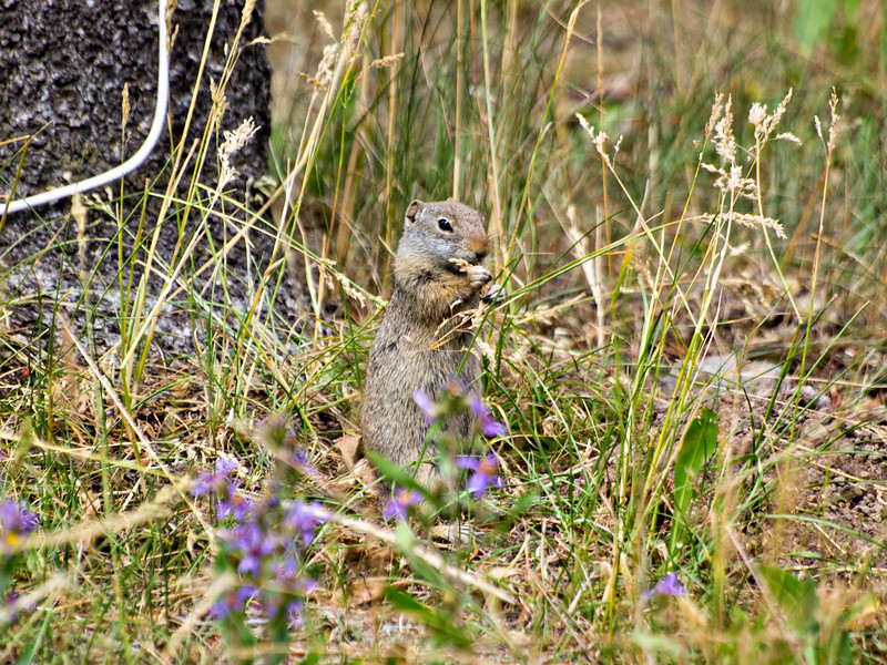 GroundSquirrel.jpg