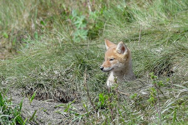 6-2-16 Coyote Pups