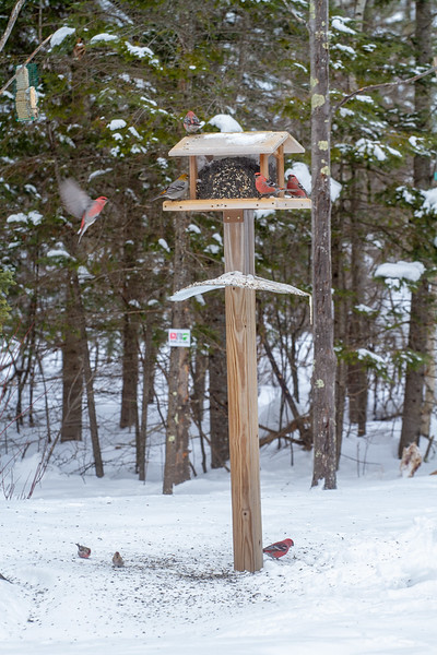 Pine Grosbeak and Common Redpoll at Welcome Center feeder Sax-Zim Bog MN -1125.jpg