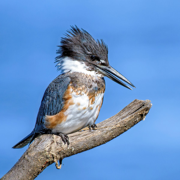 Kingfisher_DSC_9715.jpg