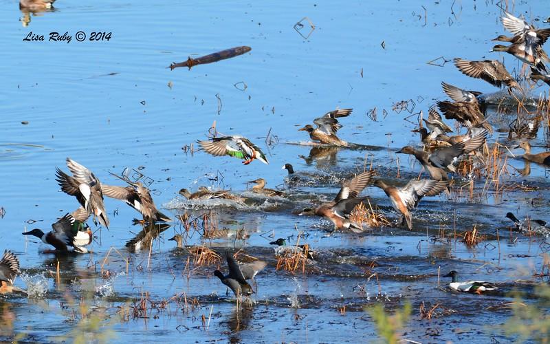 Flushed Ducks - 1/2/2015 - Lake Hodges, southeast trail (south of footbridge)