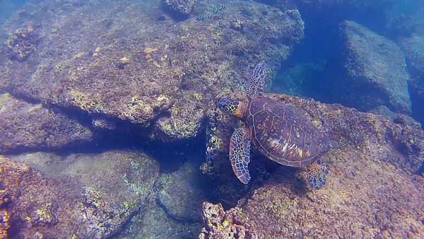 HawaiianSeaTurtleHD_T-103.2.mov