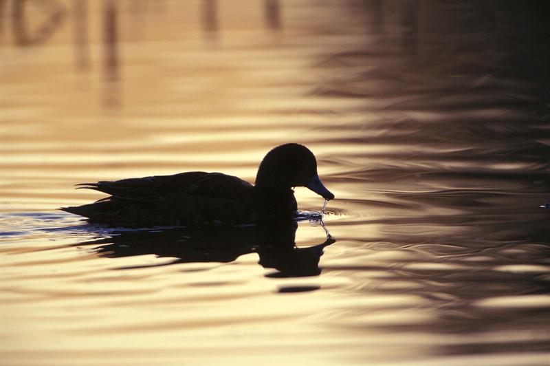 Duck Swimming 0003705