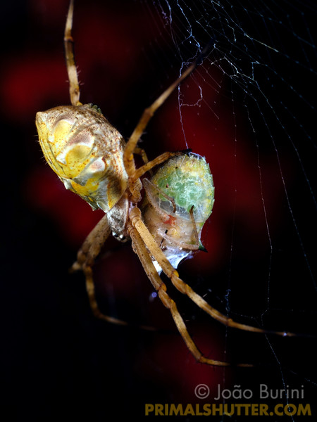Silver argiope with prey