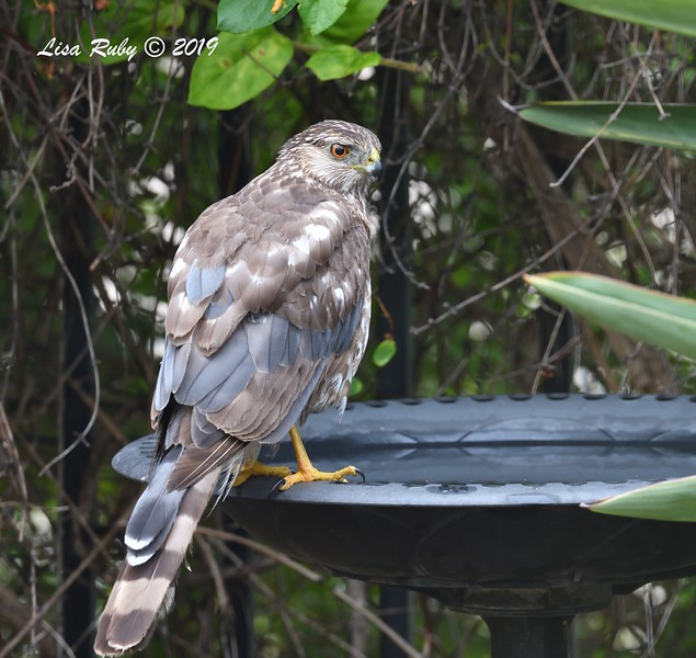 Immature Cooper's Hawk molting into adult plumage - 6/23/2019  - Backyard Sabre Springs