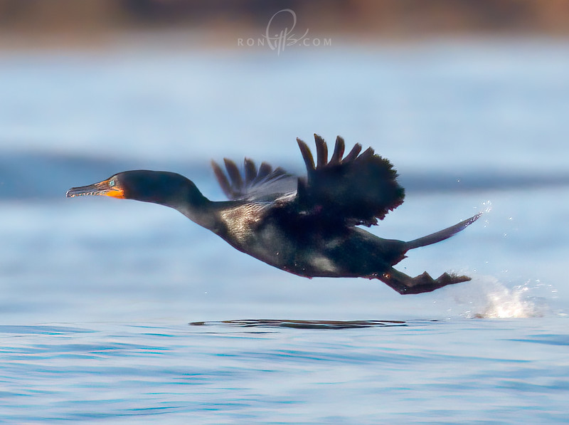 orsm 4 cormorant_M4D7405.jpg