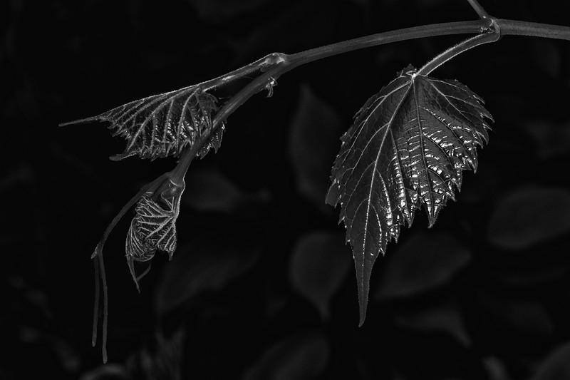 DSC_1860 Grape Vine  New Shoot +Spider PS- LL NEF SFX023WetRocks.jpg