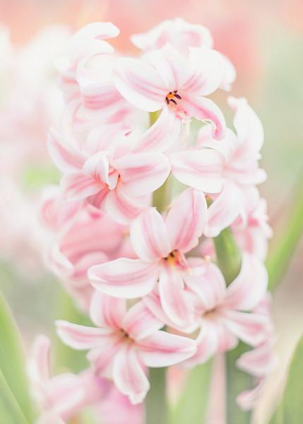 s Spring Hyacinth.jpg