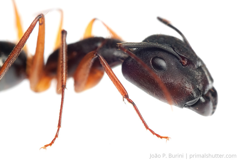 Carpenter ant (Camponotus species) Sorocaba, SP, Brazil August 2012 Urban