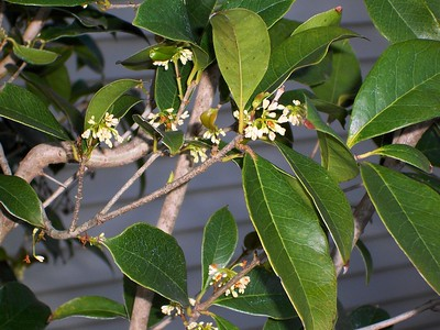 sweet-olive-provides-pleasant-fragrance-in-all-directions