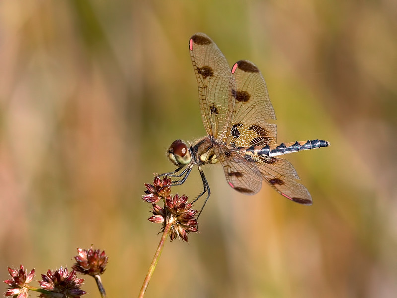 Calico Pennant (Celithemis elisa), Older Female