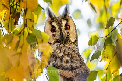 Owl-Long Eared Owl