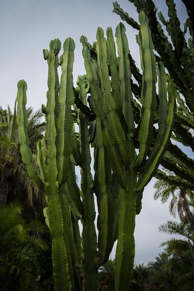 Euphorbia triangularis, Ganna Walska Lotusland