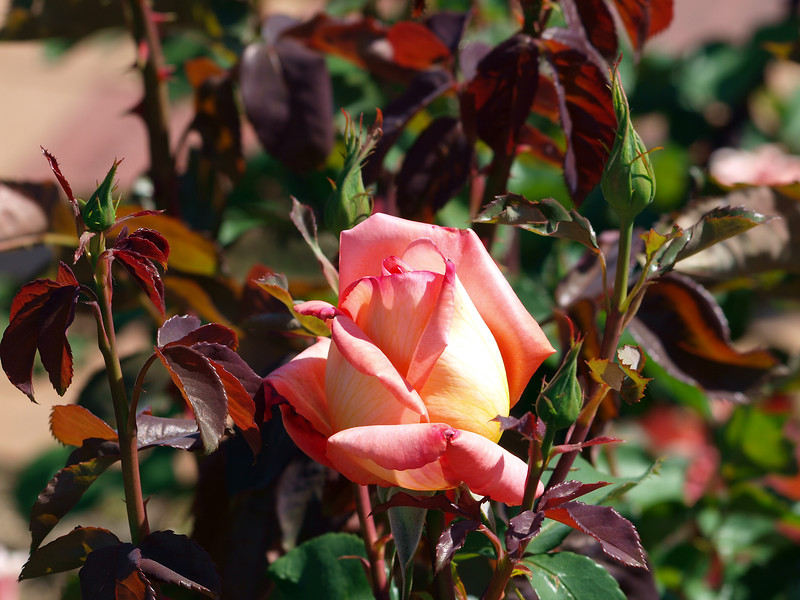 Rose in sun at Heather Farms
