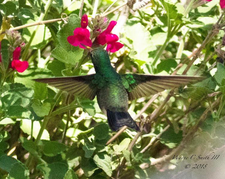 Broad Billed Hummingbird Female Eating Nectar