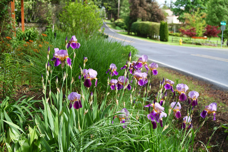 The Iris on the edge of my ditch